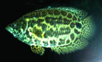 Fische labyrinthfische labyrinthfische alle details for Fadenfische zucht
