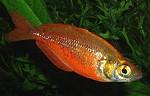 Lachsrote Regenbogenfische