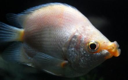 Fische fadenfische k ssende guramis alle details und for Fadenfische zucht