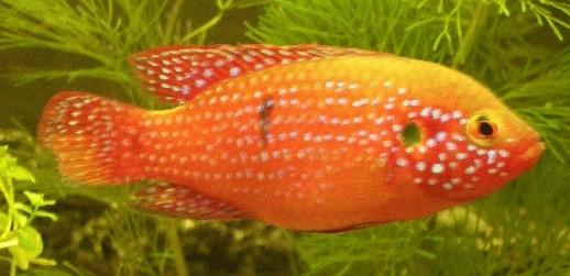 fische buntbarsche afrika hemichromis lifalilii rote cichliden aquarium ratgeber. Black Bedroom Furniture Sets. Home Design Ideas
