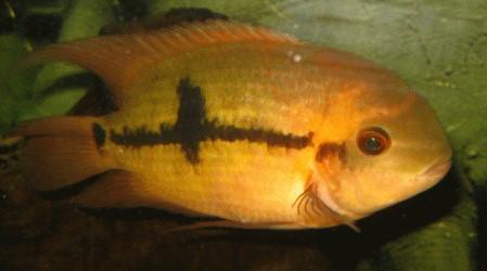 Fische buntbarsche amerika smaragdbuntbarsche for Fadenfische zucht