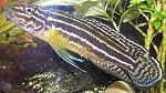 julidochromisregani02 tn