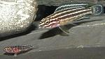 julidochromisregani04 tn
