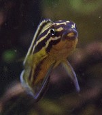 julidochromisregani06 tn