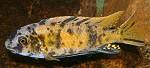 Labeotropheus fuelleborni Männchen