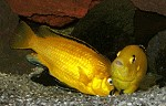 Paarung Labidochromis yellow