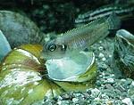 Lamprologus Ocellatus Männchen und Schnecke Ampularia ramshorn var. Gold