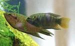Paradiesfische
