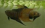 Paradiesfisch Männchen drohen vor dem Kampf