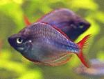 Diamant-Regenbogenfische