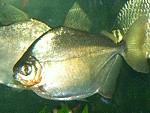 Silberdollar Fisch - Scheibensalmler