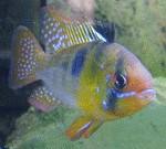 "Mikrogeophagus ramirezi ""Blue"" Männchen"