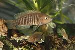Neolamprologus multifasciatus Männchen verteidigt Revier