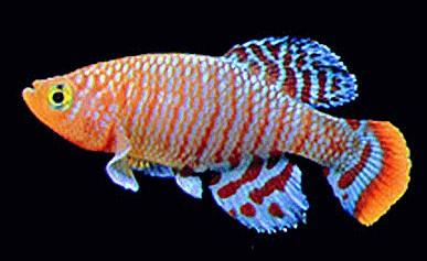 Fische zierfische und aquarienfische in einer bersicht for Japanische zierfische