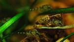 Junge Purpurprachtbarsche