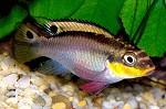 "Pelvicachromis taeniatus ""Nigerian red"" Weibchen"