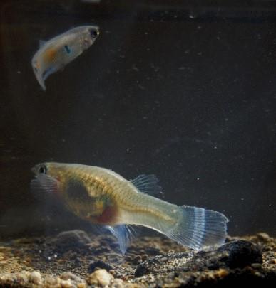 Fische guppys wildguppys halten und z chten alle infos for Fische halten