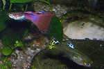 Guppy Männchen links Weibchen rechts