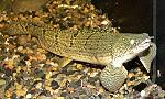 polypterusweeksii02 tn