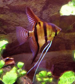 Fische skalare aggressivitaet aquarium ratgeber for Fadenfische zucht