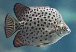 Scatophagus argus - Argusfisch