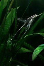sturisomaaureum01 tn