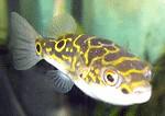 Palembang-Kugelfische