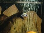 Grüne Kugelfische