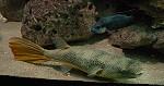 Riesenkugelfische