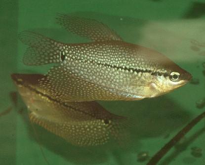 Fische fadenfische mosaikfadenfische alle details und for Fadenfische zucht