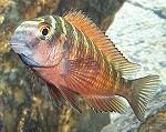 Tropheus Moorii (Kasanga)