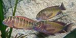"""Tropheus Moorii """"Red Rainbo"""" (Kasanga)"""