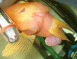 Goldfisch mit Würmern