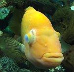 Augentrübungen und dickes Auge beim Meerwasserfisch