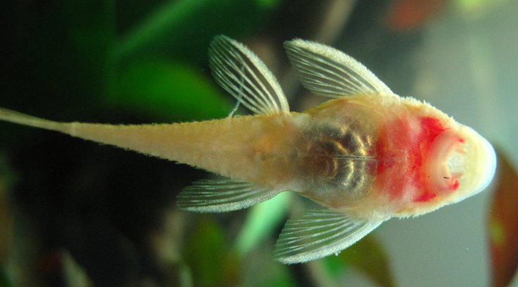 Kopf am mit fisch beule Beule: Richtig