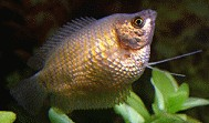 Bauchwassersucht Fadenfisch