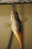 Zwergfadenfisch Bauchwassersucht Fischkrankheit
