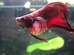 Kampffische mit BWS Bauchwassersucht