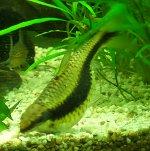 Crossocheilus siamensis mit Bauchwassersucht