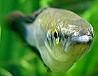 Ährenfisch Weißmaulkankrheit