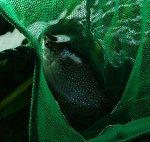 Mosaikfadenfisch Weißmaulkankrheit