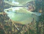 Mosaikfadenfisch Weißmaulkrankheit