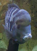 Zebrabuntbarsch Weißmaulkrankheit