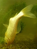 Darmflagellaten Goldfisch