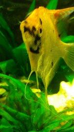 Skalar Darmflagellaten