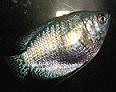 Zwerfadenfisch mit Verstopfung