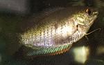 Zwergfadenfischkrankheit