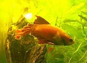 Flossenfäule Kampffisch