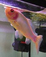 Goldfisch Flossenklemmen