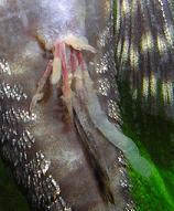 Antennenwels Fräskopfwürmern